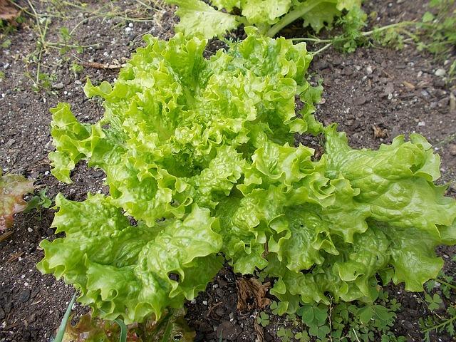 Lettuce, Crop, Field, Green, Kim Jang, Summer, Farming