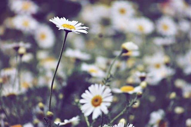 Plant, Field, Meadow, Daisy, Summer, Wildflower
