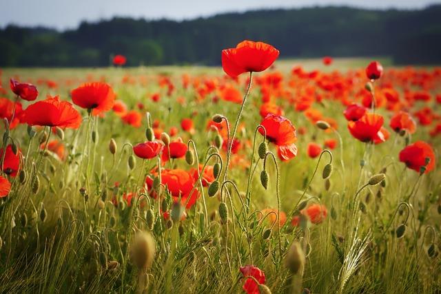 Field, Poppy, Flower, Meadow, Nature, Summer, Plant