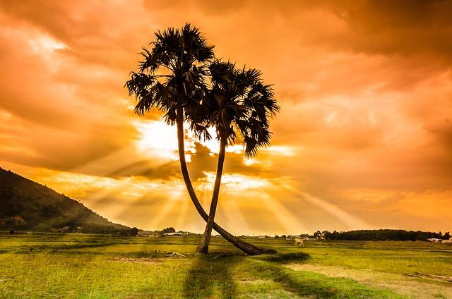 Tree, Thot, Sunset, Beauty, Vietnam, Palm Trees, Field
