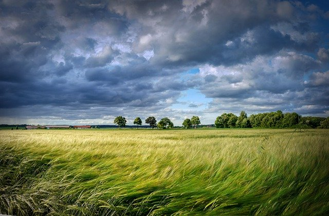 Harvest, Grain, Cereals, Field, Cornfield, Trees