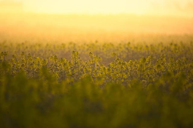 Oilseed Rape, Field, Yellow, Landscape, Nature