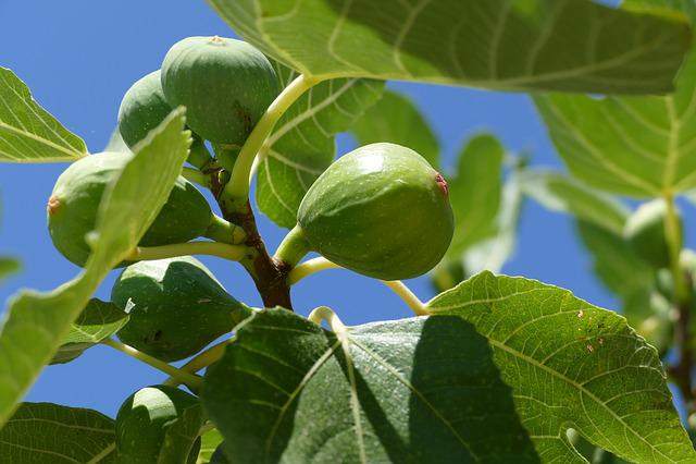 Fig Tree, Fig, Close