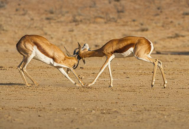 Springbok, Animals, Safari, Fighting, Fight