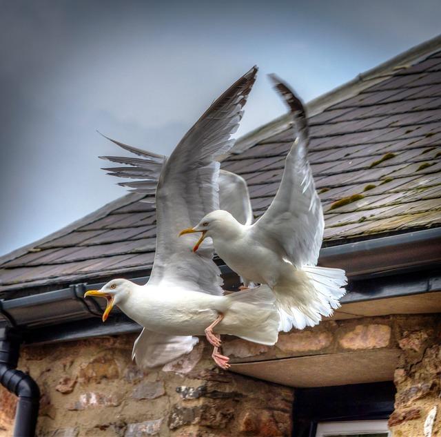 Seagulls, Birds, Fighting, Nature, Fly, Wildlife, Gull