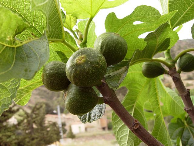 Figs, Tree, Fig Trees, Fig Tree, Nature, Branch, Green