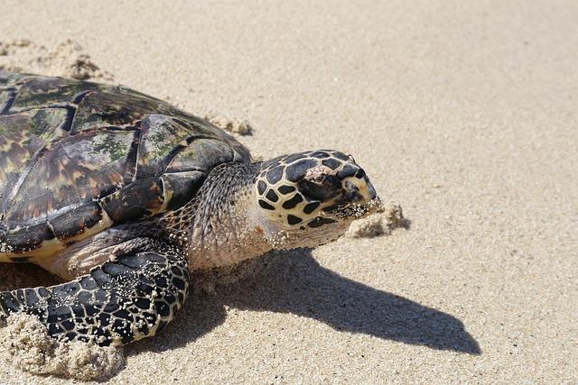 Turtle, Beach, Sand, Fiji