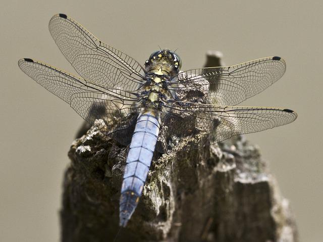 Dragonfly, Insect, Close, Wing, Filigree