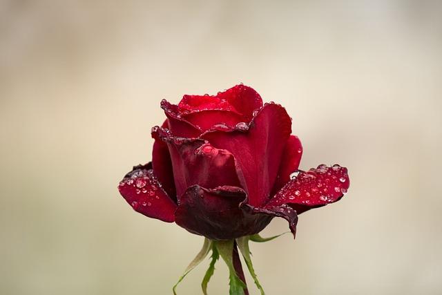 Rose, Flower, Nature, Filigree, Garden, Flourished