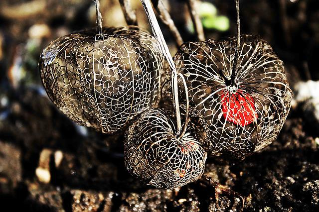 Physalis, Tender, Fragile, Filigree
