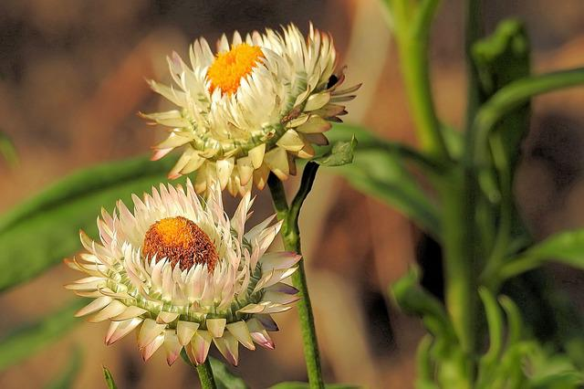 Straw Flowers, Composites, Helichrysum, White, Filled