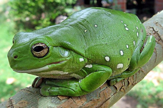 Finger Coral Tree Frog, Running Frog, Frog, Anuran