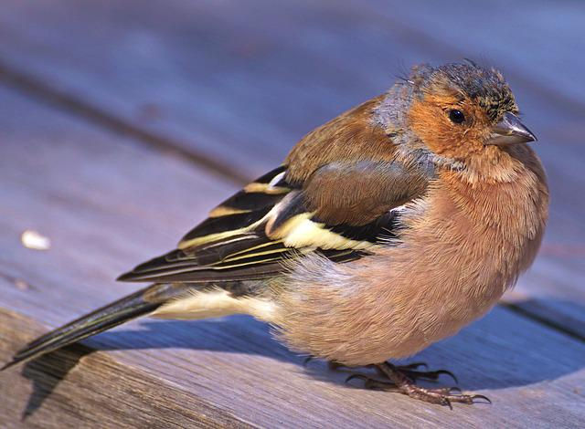 Chaffinch, Bird, Plumage, Fink, Songbird, Animal