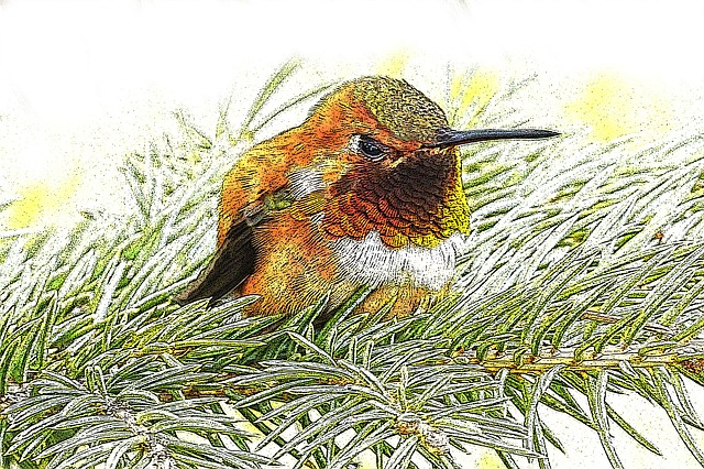 Hummingbird, Drawing, Little Bird, Pine, Fir, Nature