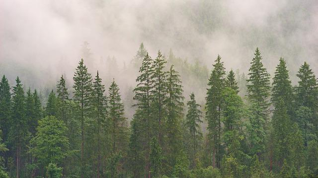 Forest, Conifers, Coniferous Forest, Fir Forest, Wood