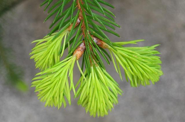 Fir Drove, Spring, Fir Grows, Growth, Green, Mini Fir