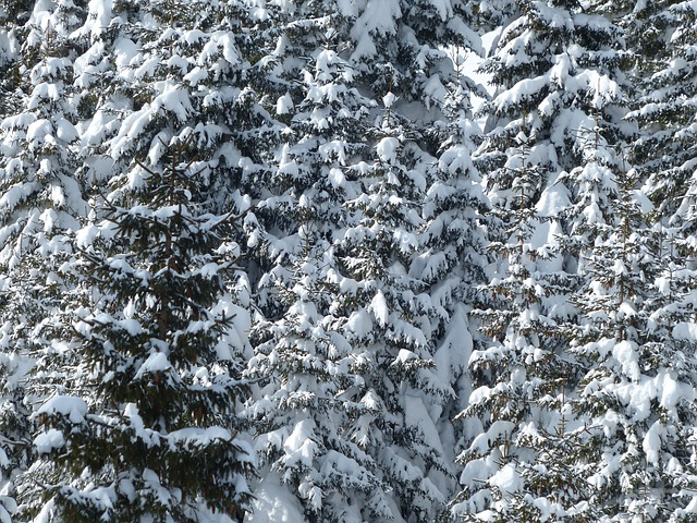 Fir Tree, Firs, Trees, Snowy, Winter, Snow, Wintry
