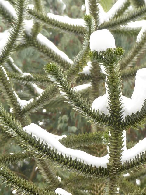 Araucana, Fir, Tree, Road, Winter, Snowy, Branches
