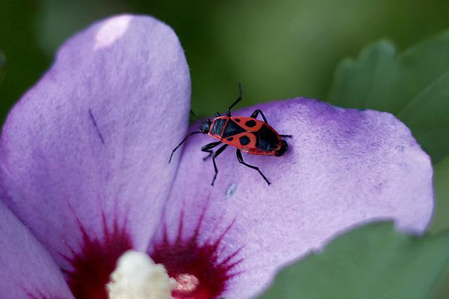Fire Bug, Insect, Close Up, Hibiscus