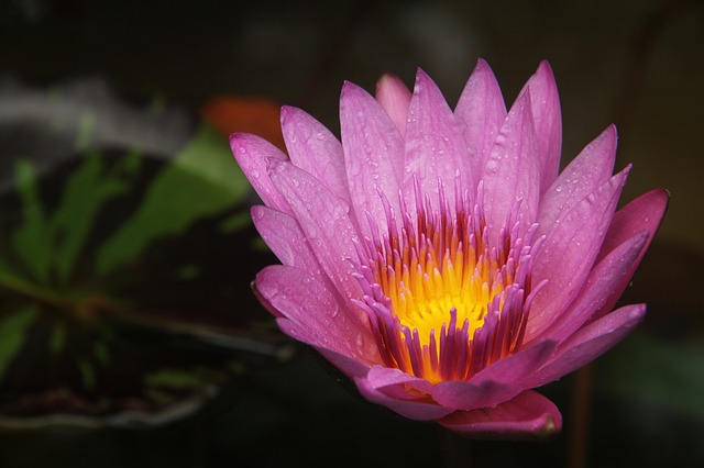 Lotus, Fire, Burning, Lotus Leaf, Dew