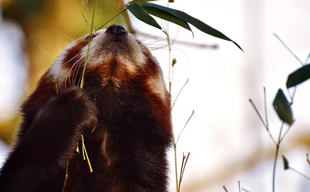 Panda, Red Panda, Bear Cat, Fire Fox, Ailurus Fulgens