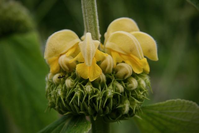 Blossom, Bloom, Yellow, Fire Herb, Bush-fire Herb