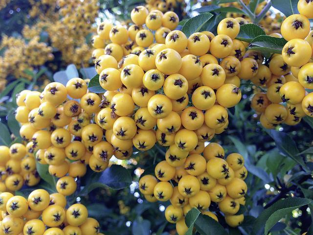 Rowan, Yellow, Pyracantha, Firethorn, Fruits, Hedge