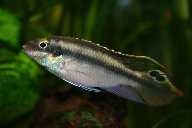 Purple Splendor Perch, Fish, Aquarium, Aquarium Fish