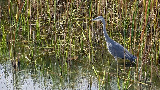 Heron, Grey Heron, Bird, Hunter, Fish, Bill, Water