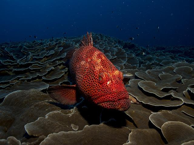 Fish, Grouper, Red, Sea, Water, Animal, Ocean, Marine
