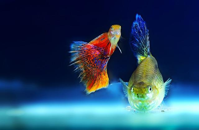 Free Photo Aquarium Fish Red Breeding Colored Carp Koi Fish Max Pixel