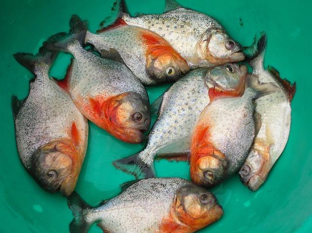 Fish Piranha, Beni, Bolivia