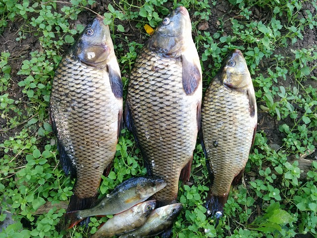 Fish, Fishing, Carp, Catch, Lake, Summer