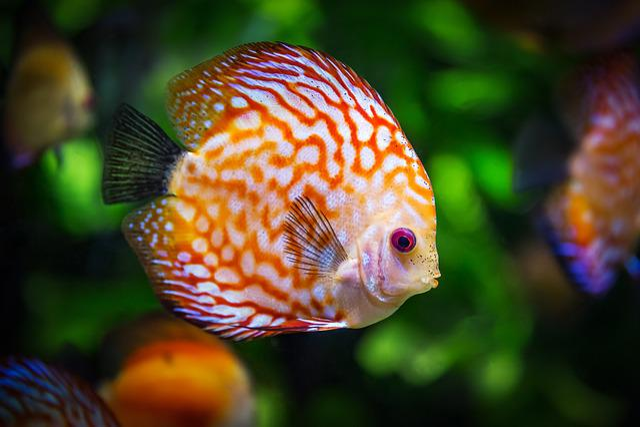 Discus Fish, Fish, Fauna, Symphysodon Aequifasciatus