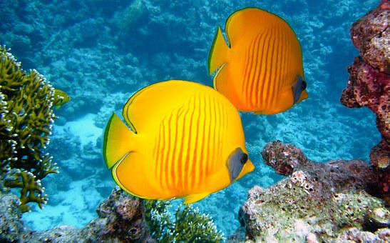 Zitronenfalter Fish, Fish, Exotic, Tropical, Yellow