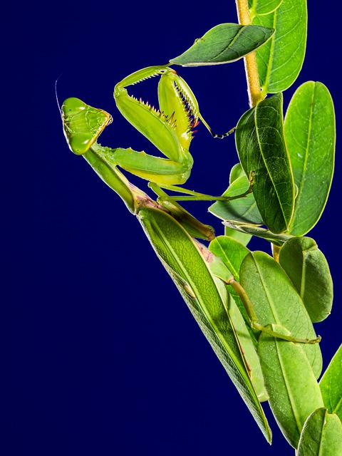 Praying Mantis, Insect, Fishing Locust, Green, Close Up