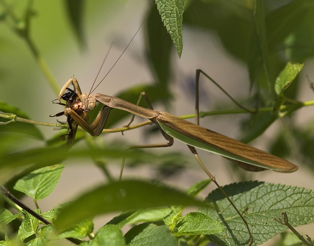 Praying Mantis, Fishing Locust, Mantodea, Mantids