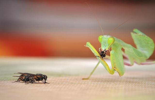 Praying Mantis, Sphodromantis Lineola, Fishing Locust