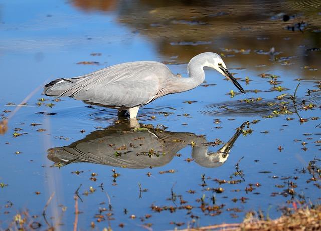 Bird, Heron, Fishing, Wildlife, Outdoors, Reflection