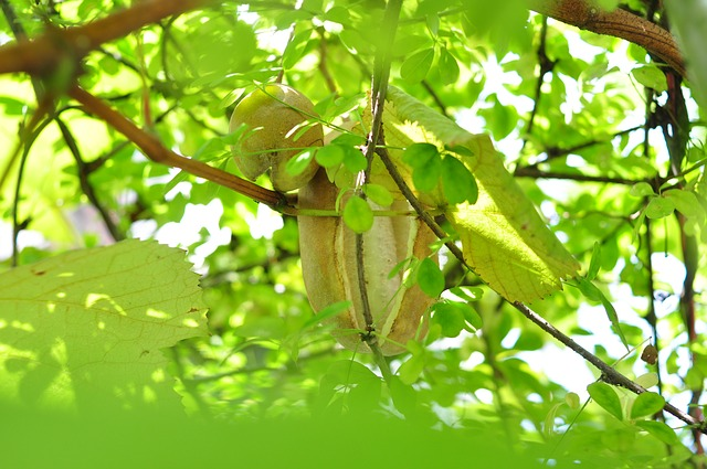 Five Leaf Akebia, Fruit, Plant, With Name, Plants