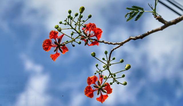 Flamboyant Tree, Flame Of The Forest, Poinciana, Branch