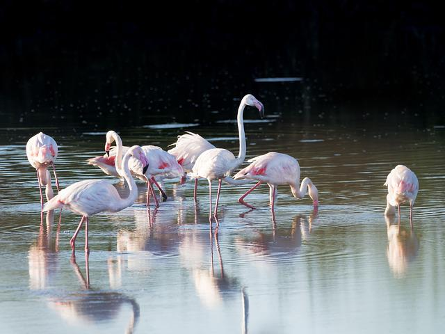Greater Flamingos, Flamingo, Birds, Avian, Reflections