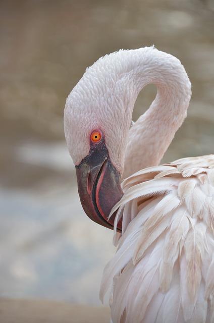 Flamingo, Looking, Bird, Pink Bird