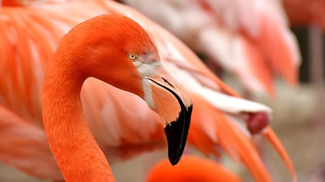 Flamingo, Bird, Colorful, Feather, Pride