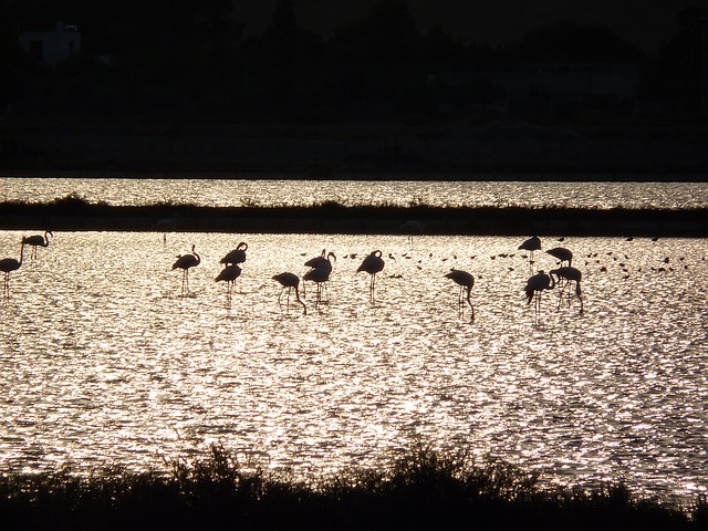 Flamingos, Flamingos Cagliari, Animals, Sunset Animals