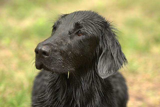 Flatcoated Retriever, Dog, Animal Kingdom, Mammals