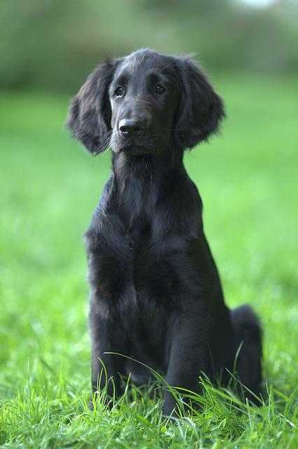 Flatcoated Retriever, Dog, Animal Kingdom, Mammals