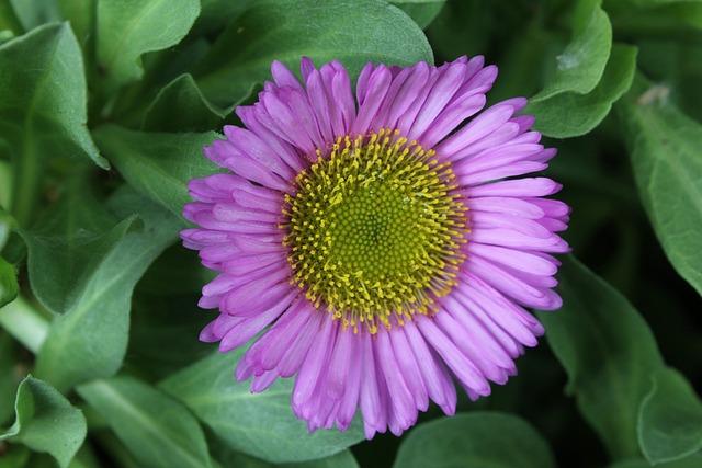 Erigeron, Flower, Perennial, Fleabane Daisy, Border