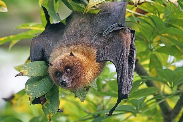 Animals, Fledertier, Flying Dog, Rodrigues Flying Fox