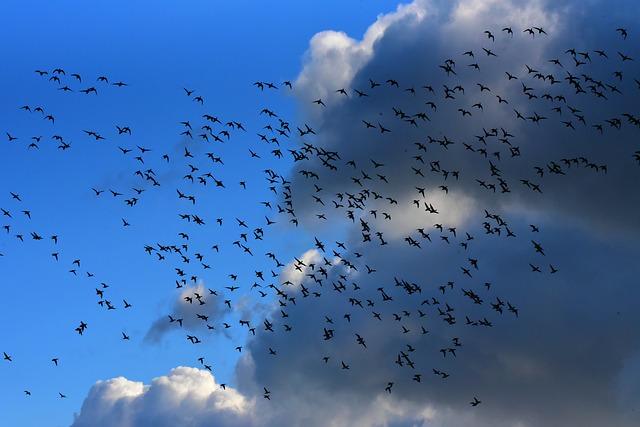 Flock Of Birds, Migrating, Flight, Flying, Skies